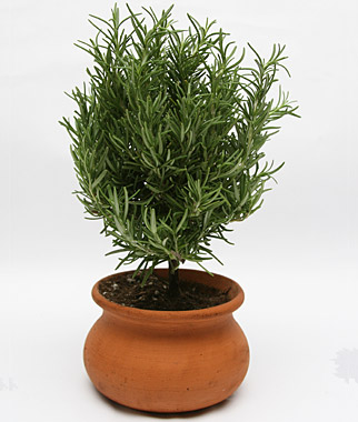 1446223830-rosemary-in-clay